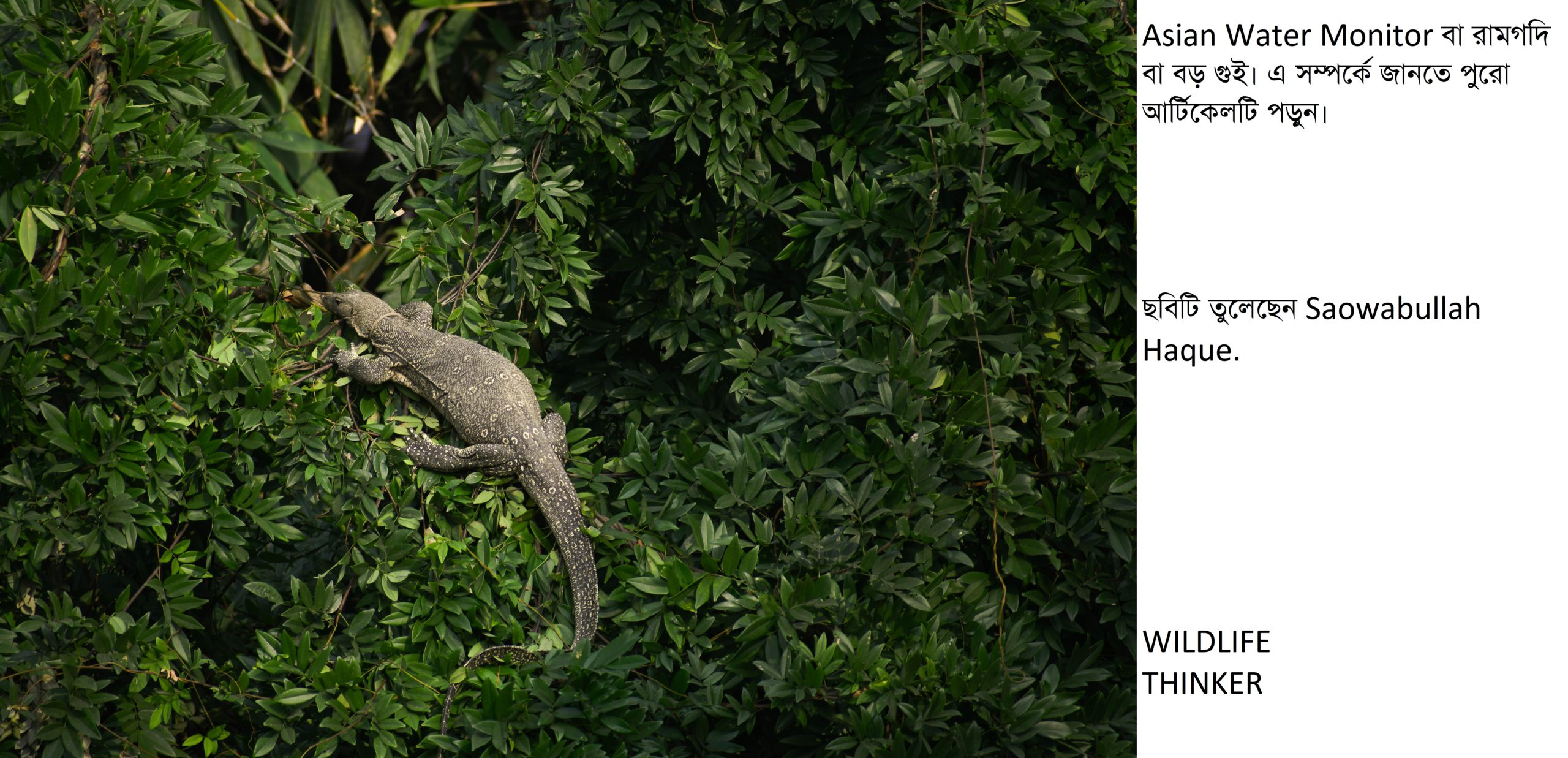 আমাদের জীবিত ড্রাগন 'বড় গুই' (Asian Water Monitor Lizard)