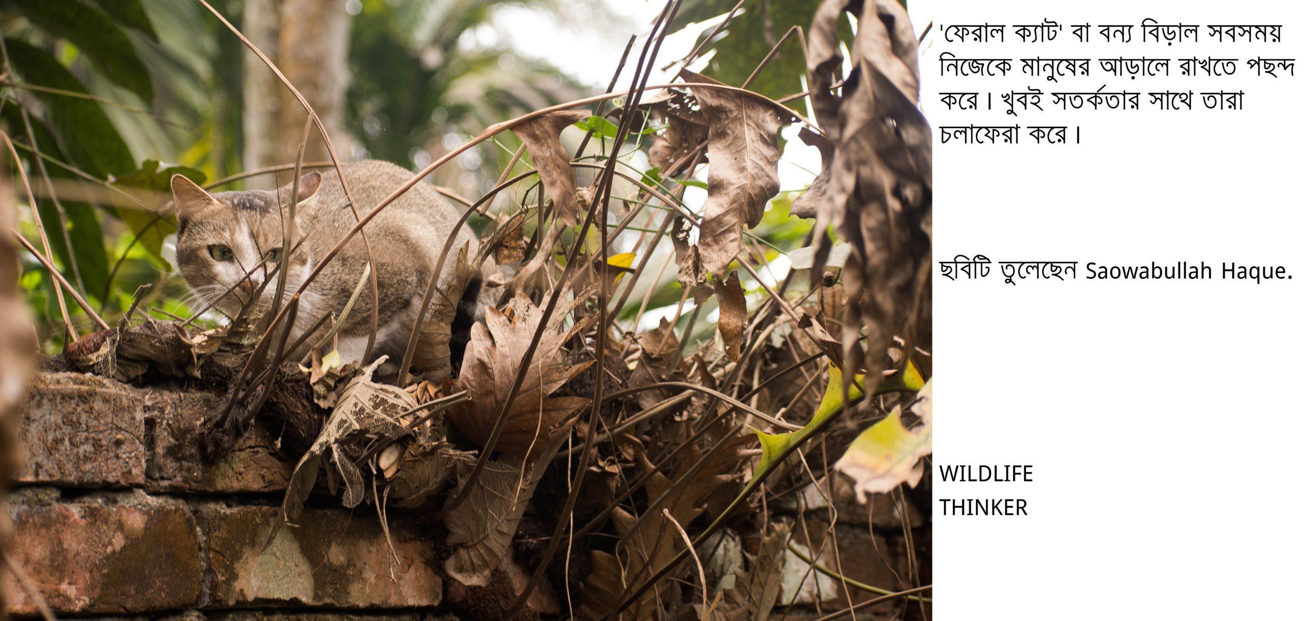 ফেরাল ক্যাট বা বন্য বিড়ালের বৃত্তান্ত